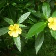 Damiana flowers
