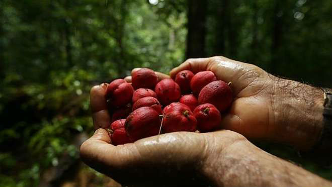 Image result for blushwood berry