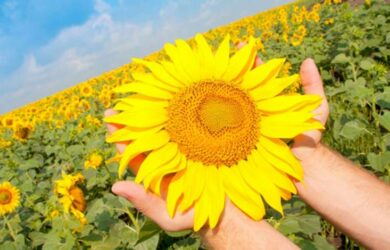 Sunflower Lecithin Benefits and Uses