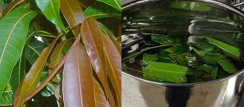 mango leaf tea