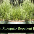 5 Best Mosquito Repellent Plants