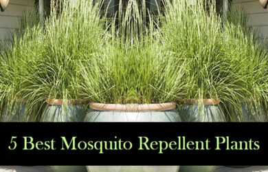 Plants that keep mosquitoes away archives best herbal health - Mosquito repellent plants ...
