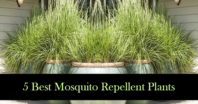 5 mosquito repellent plants and how to use them best herbal health - Mosquito repellent plants ...